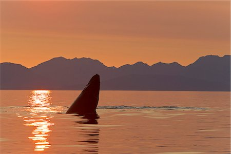 dripping silhouette - A Humpback Whale calf plays on the surface of Frederick Sound at sunset with Admiralty Island in the distance, Tongass National Forest, Inside Passage, Southeast Alaska, Summer Stock Photo - Rights-Managed, Code: 854-03739868