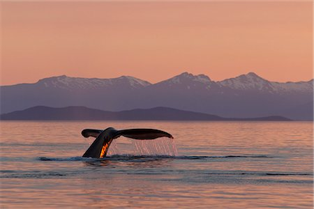 dripping silhouette - A Humpback Whale returns to the depths of Frederick Sound as the sun sets with Admiralty Island in the distance, Tongass National Forest, Inside Passage, Southeast Alaska, Summer Stock Photo - Rights-Managed, Code: 854-03739869