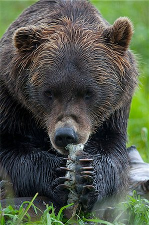 Portrait of a Brown Bear holding a chunk of salmon at the Alaska Wildlife Conservation Center, Southcentral Alaska, Summer. Captive Stock Photo - Rights-Managed, Code: 854-03740184