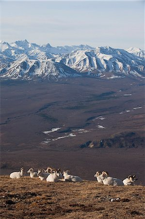 ram (animal) - Band of ram Dall Sheep rest on a ridge with Alaska Range in the background, Denali National Park and Preserve, Interior Alaska, Spring Stock Photo - Rights-Managed, Code: 854-03740193