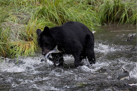 An adult Black bear grabs a Pink Salmon from a stream by Allison Point Campground in Valdez, Southcentral Alaska, Summer Stock Photo - Rights-Managed, Code: 854-03740209