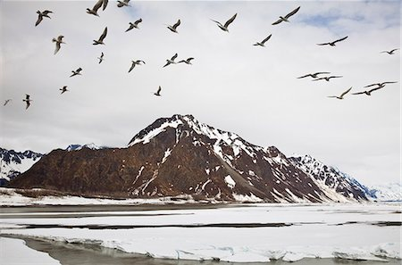 small town snow - Seagulls flying over the Copper River in search of Eulachon in the early spring during break-up, Chugach Mountains, Copper River Delta, Southcentral Alaska, Spring Stock Photo - Rights-Managed, Code: 854-03740278