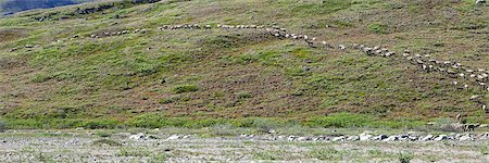 View of the Porcupine Caribou herd heading up the bank from a gravel bar by Hulahula River in ANWR, Arctic Alaska, Summer Stock Photo - Rights-Managed, Code: 854-03740337