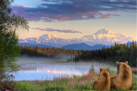 Sow and Cub brown bears looking across small lake and viewing Mt. McKinley at sunrise, SouthCentral Alaska, Autumn, COMPOSITE Stock Photo - Rights-Managed, Code: 854-03740384