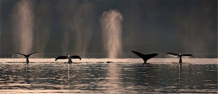 A group of Humpback Whales dive down as they are feeding in Stephens Passage near Admiralty island, Inside Passage, Southeast Alaska, Summer Foto de stock - Con derechos protegidos, Código: 854-03845118