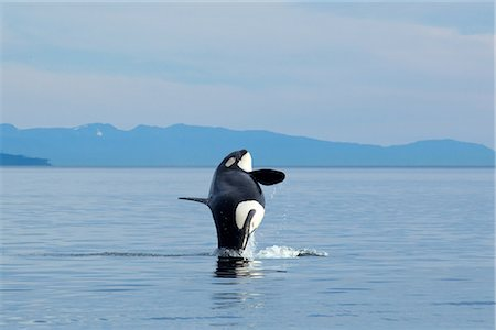 A pregnant Orca whale breaches from the calm waters of Chatham Strait, Inside Passage, Southeast Alaska, Summer Stock Photo - Rights-Managed, Code: 854-03845122