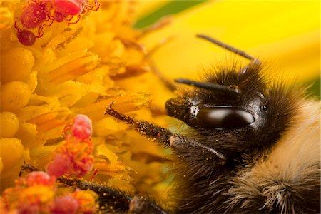 Macro view of bumblebee resting on a Seaside Ragwort blossom alongside Red Velvet Mites, Kodiak, Southwest Alaska, Summer Stock Photo - Rights-Managed, Code: 854-03845236