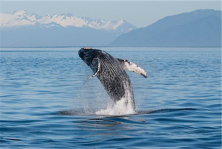 Humpback Whale breaching in Frederick Sound, Inside Passage, Southeast Alaska, Summer Stock Photo - Rights-Managed, Code: 854-03845300