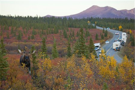 An adult bull moose walks amongst the Autumn colored brush in Denali National Park and Preserve while cars and campers take pictures from the Park Road, Interior Alaska, Fall Stock Photo - Rights-Managed, Code: 854-03845699