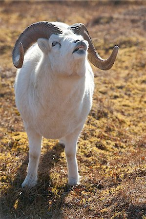 ram (animal) - A Dall sheep ram tests the air after sniffing a female's urine to see if she is in heat for breeding, Denali National Park and Preserve, Interior Alaska, Autumn Stock Photo - Rights-Managed, Code: 854-03845725