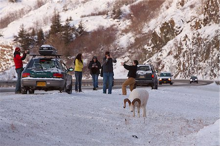 ram (animal) - People stop along the Seward Highway to photograph a ram Dall sheep along the road, Turnagain Arm, Southcentral Alaska, Winter Stock Photo - Rights-Managed, Code: 854-03845737