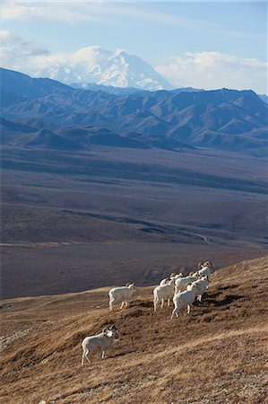 ram (animal) - Band of Dall sheep ram standing and grazing in a high mountain meadow with Mt. McKinley in the background, Interior Alaska, Autumn Stock Photo - Rights-Managed, Code: 854-03845733
