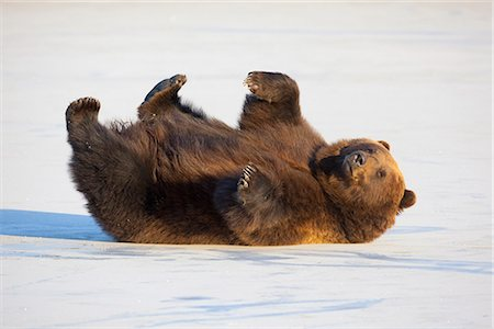 roll (people and animals rolling around) - Adult Brown Bear rolling on its back in the snow at Alaska Wildlife Conservation Center, Portage, Southcentral Alaska, Winter, CAPTIVE Stock Photo - Rights-Managed, Code: 854-03845749