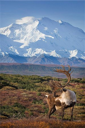 reindeer in snow - Caribou bull standing on a ridgeline with Mt. McKinley and Denali National Park and Preserve in the background, Interior Alaska, Autumn. COMPOSITE Stock Photo - Rights-Managed, Code: 854-03845884