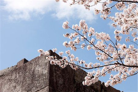 Cherry blossom at ancient castle of Sasayama, Hyogo Prefecture, Japan Stock Photo - Rights-Managed, Code: 855-06022697