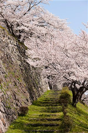 Cherry blossom at ancient castle of Sasayama, Hyogo Prefecture, Japan Stock Photo - Rights-Managed, Code: 855-06022717