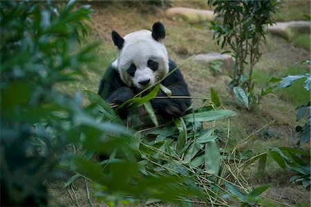 endangered animal - The Hong Kong Jockey Club Giant Panda Habitat,Ocean Park,Hong Kong Stock Photo - Rights-Managed, Code: 855-03024259