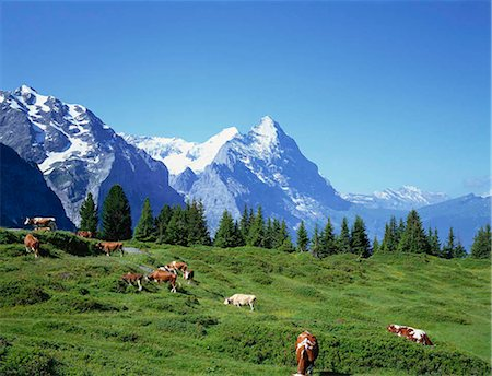 Cows in alpine meadow with Eiger mountains beyond, Grindelwald, Bern (Berne), Bernese Oberland, Swiss Alps, Switzerland Stock Photo - Rights-Managed, Code: 855-03254863