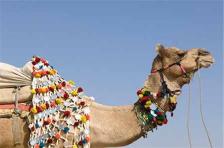 rajasthan camel - Close-up of a camel in a fair, Pushkar Camel Fair, Pushkar, Rajasthan, India Stock Photo - Rights-Managed, Code: 857-03192464