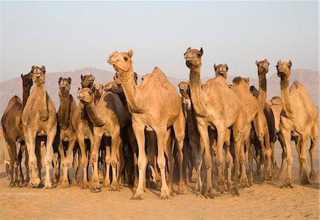 rajasthan camel - Pushkar Camel Fair, Pushkar, Ajmer, Rajasthan, India Stock Photo - Rights-Managed, Code: 857-03192466