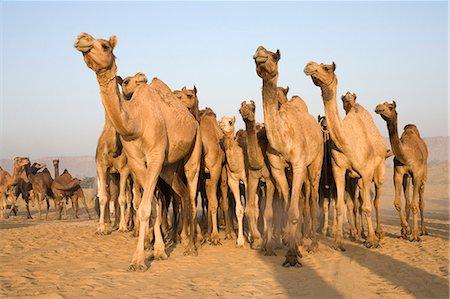 rajasthan camel - Pushkar Camel Fair, Pushkar, Ajmer, Rajasthan, India Stock Photo - Rights-Managed, Code: 857-03192467