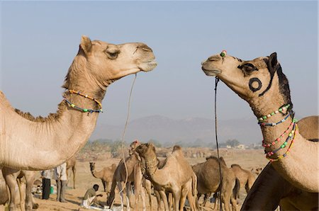 rajasthan camel - Herd of camels in a fair, Pushkar Camel Fair, Pushkar, Rajasthan, India Stock Photo - Rights-Managed, Code: 857-03192463