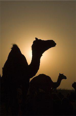 rajasthan camel - Silhouette of camels at dusk, Pushkar Camel Fair, Pushkar, Rajasthan, India Stock Photo - Rights-Managed, Code: 857-03192475