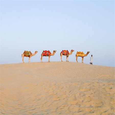 rajasthan camel - Four camels standing in a row with a man, Jaisalmer, Rajasthan, India Stock Photo - Rights-Managed, Code: 857-03192620