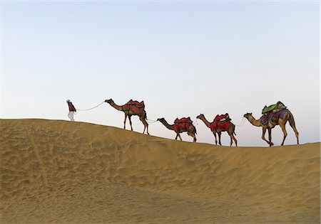 rajasthan camel - Man walking with four camels in a desert, Thar Desert, Jaisalmer, Rajasthan, India Stock Photo - Rights-Managed, Code: 857-03192632