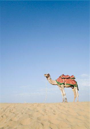 rajasthan camel - Camel in a desert, Thar Desert, Jaisalmer, Rajasthan, India Stock Photo - Rights-Managed, Code: 857-03192652