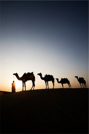 rajasthan camel - Four camels standing in a row with a man in a desert, Jaisalmer, Rajasthan, India Stock Photo - Rights-Managed, Code: 857-03553595