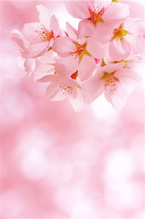 spring background - Cherry Trees In Full Bloom Stock Photo - Rights-Managed, Code: 859-06380116