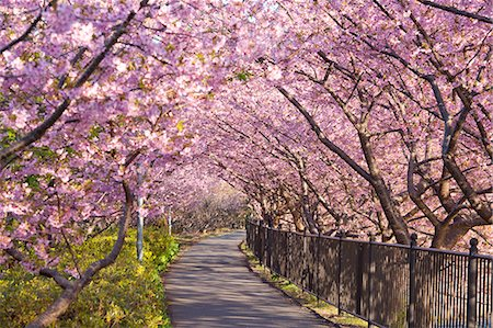 Tunnel Of Cherry Blossoms, Kawazu, Shizuoka Prefecture, Japan Stock Photo - Rights-Managed, Code: 859-06380256