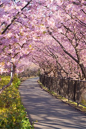 Tunnel Of Cherry Blossoms, Kawazu, Shizuoka Prefecture, Japan Stock Photo - Rights-Managed, Code: 859-06380257