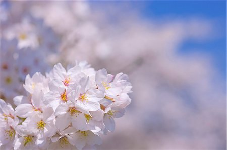 spring background - Cherry Blossoms Stock Photo - Rights-Managed, Code: 859-06380308