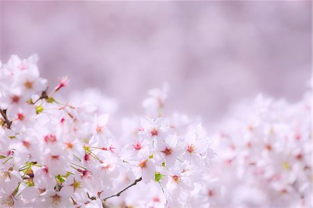 spring background - Cherry Trees In Full Bloom Stock Photo - Rights-Managed, Code: 859-06380320