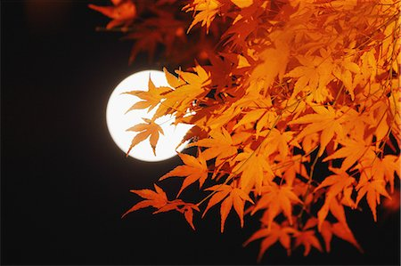 Red maple leaves and full moon Stock Photo - Rights-Managed, Code: 859-06710965