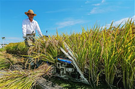 Farmer harvesting rice Stock Photo - Rights-Managed, Code: 859-06711098