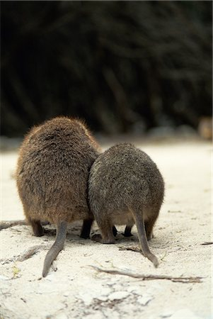 Quokka Stock Photo - Rights-Managed, Code: 859-06724990