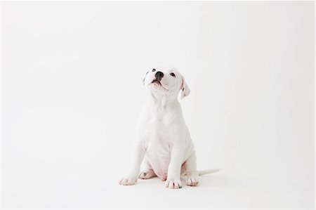 Staffordshire Bull Terrier looking up Stock Photo - Rights-Managed, Code: 859-06725098
