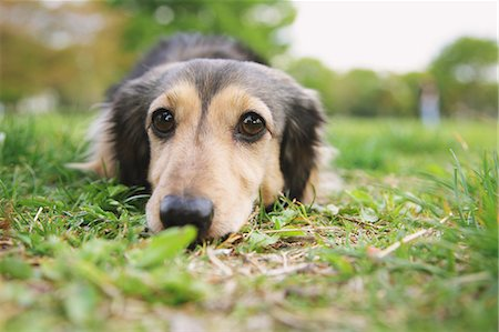 Dachshund looking at camera on the grass Stock Photo - Rights-Managed, Code: 859-06725141