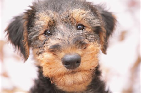 fluffy - Airedale Terrier looking at camera Stock Photo - Rights-Managed, Code: 859-06725143