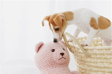 Jack Russell Terrier in a basket Stock Photo - Rights-Managed, Code: 859-06725309