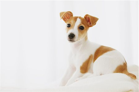 spotted - Jack Russell Terrier on a towel Stock Photo - Rights-Managed, Code: 859-06725323