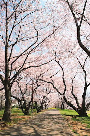 road landscape - Cherry trees and park road Stock Photo - Rights-Managed, Code: 859-06808331