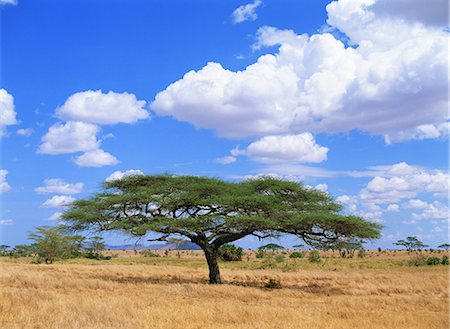 serengeti national park - Serengeti National Park, Tanzania Stock Photo - Rights-Managed, Code: 859-07283494