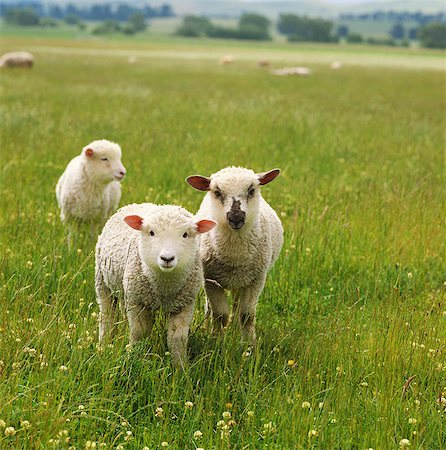 Sheep Stock Photo - Rights-Managed, Code: 859-07310689