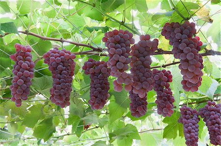 Grapes Stock Photo - Rights-Managed, Code: 859-07356327