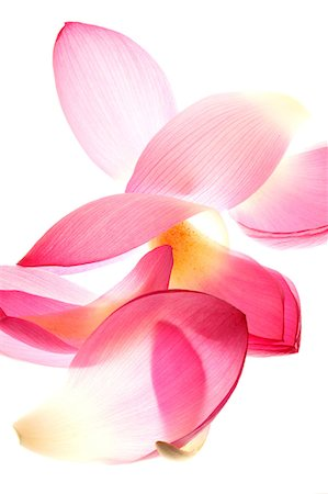petal - Lotus Stock Photo - Rights-Managed, Code: 859-07356473