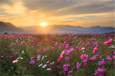 dynamic - Flower field Stock Photo - Rights-Managed, Code: 859-07441920